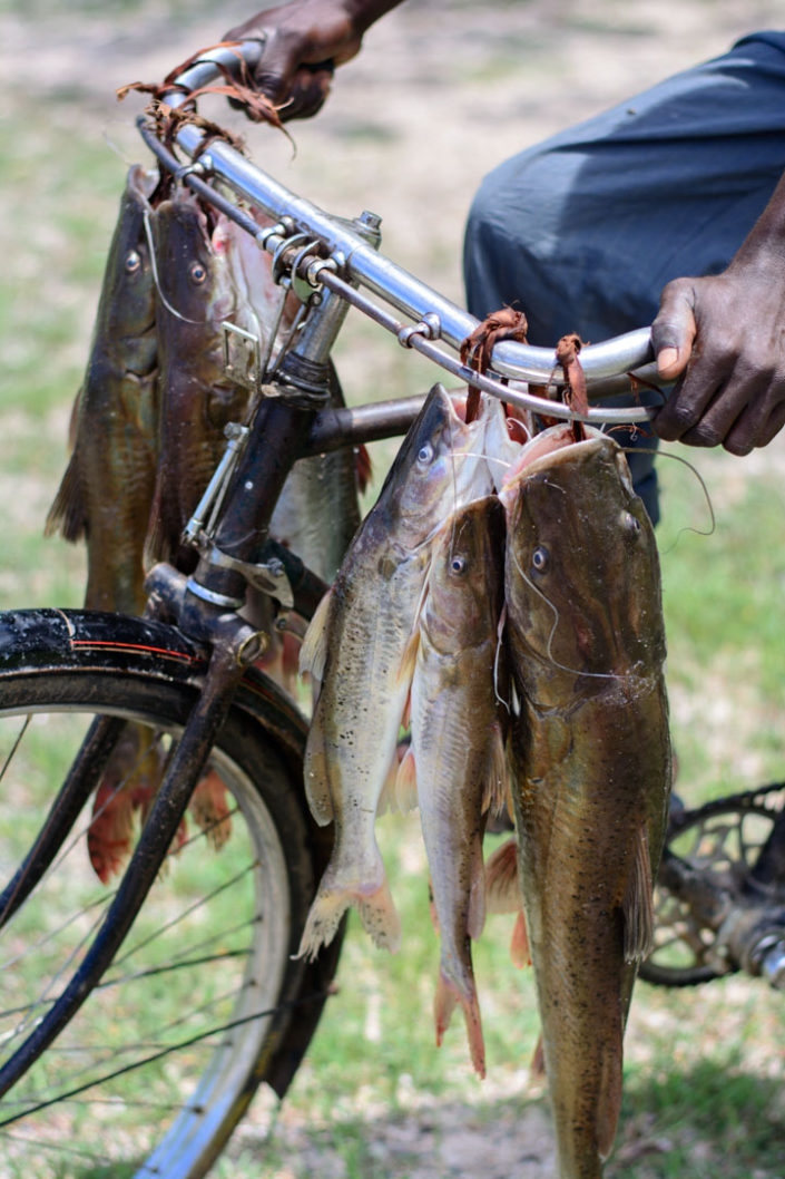 Fish from Lake Victoria hang on bicycle handlebatrs