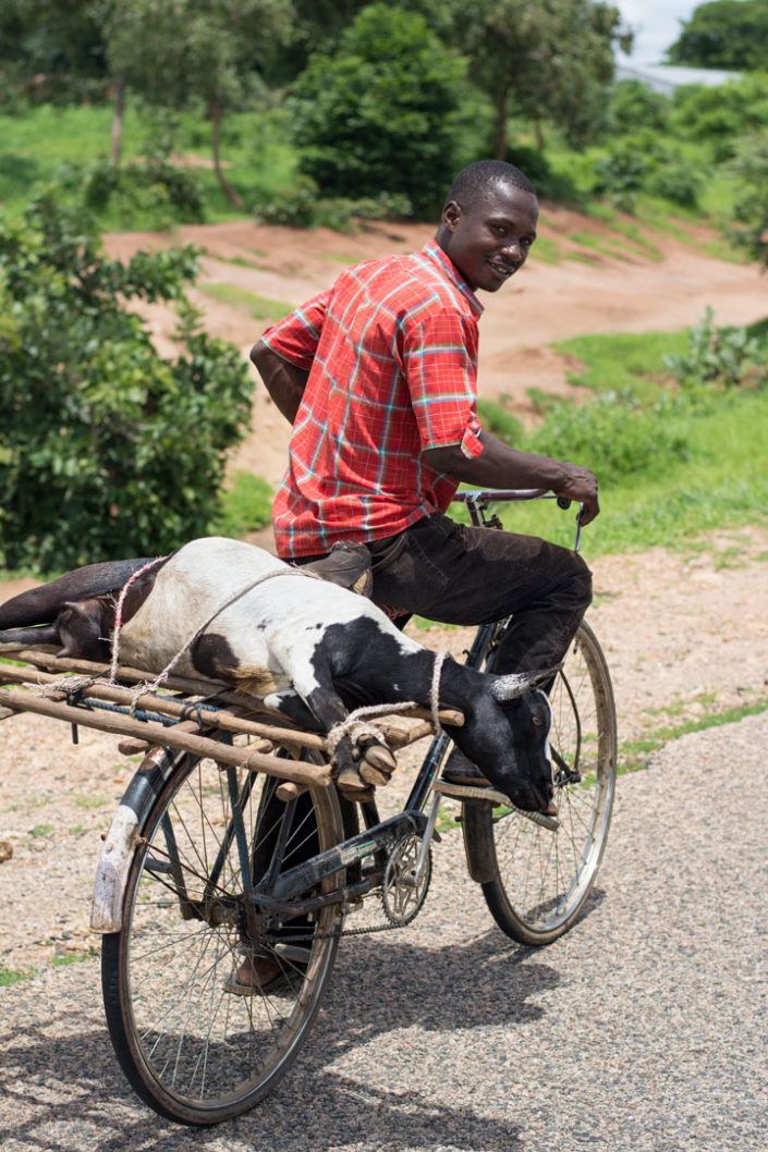 A goat is transported on the back of a bicycle rack in Africa.