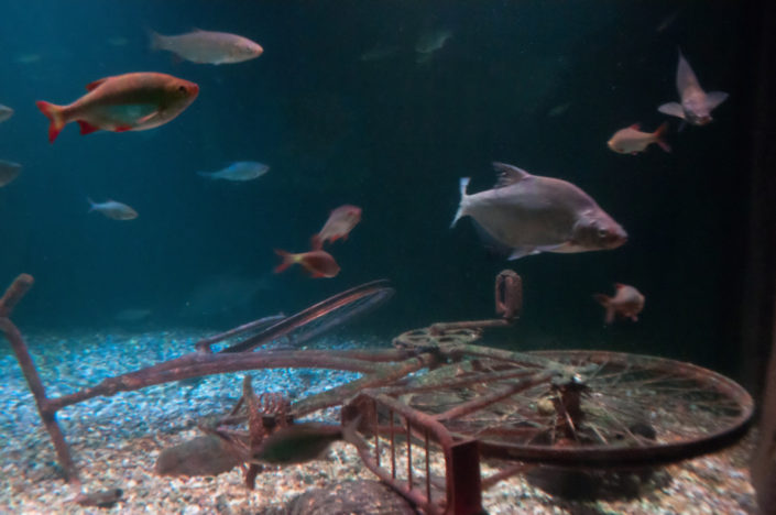 A rusted old bicycle lies in an aquarium in the Antwerp zoo