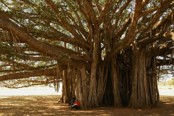 A cyclist sits under a huge tree in South India.